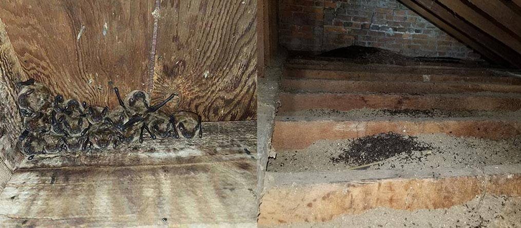 Bats leave bat guano and bat urine in your home. Hire Buckeye Wildlife Solutions NW Bat Removal Findlay Ohio Team.