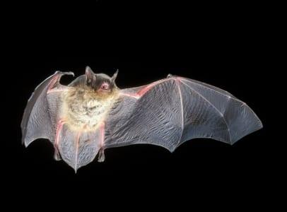 Gray Myotis Bat