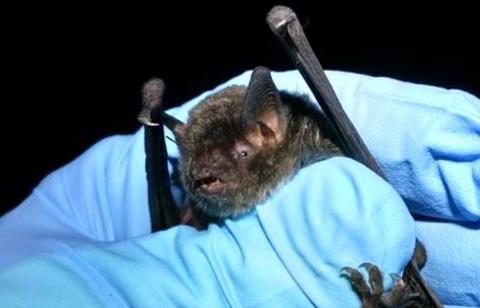 Bats Of Ohio - Gray Myotis Bat