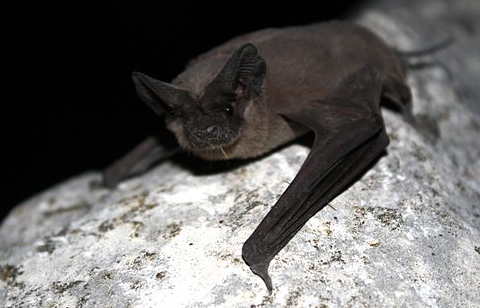 Bats Of Ohio - Mexican Free Tailed Bat