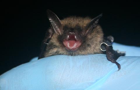 Bats Of Ohio - The Northern Long Eared Bat