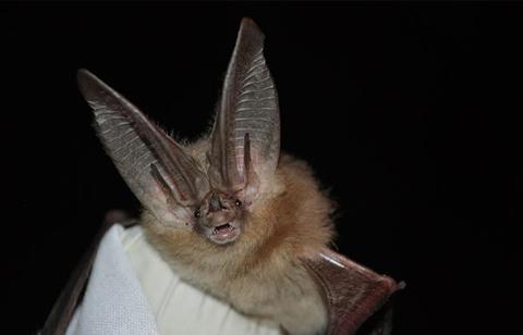Bats Of Ohio - Townsend's Big Eared Bat