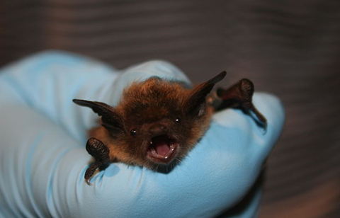 Bat Removal Findlay Ohio removes little brown bats from your home and attic