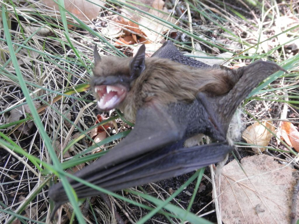 If you notice bats such as this big brown bat on your property, call us today to remove bats in Findlay Ohio!